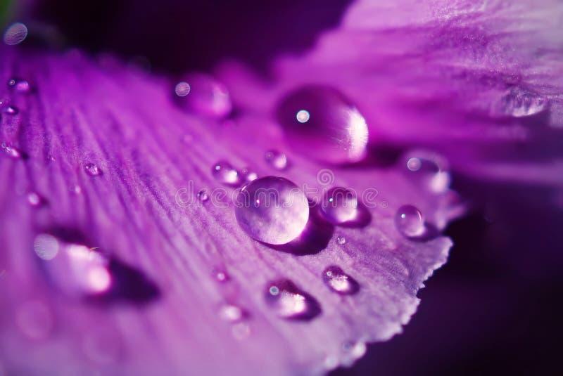 Chiuda sulle gocce di acqua sui fiori della viola in giardino giapponese fotografie stock