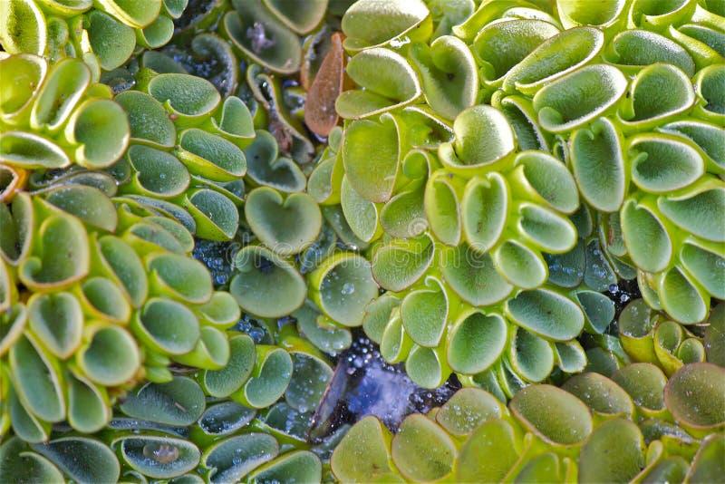 Chiuda sulle piante acquatiche verdi, le piccole goccioline di acqua con la ragnatela, foglie asciutte immagini stock libere da diritti