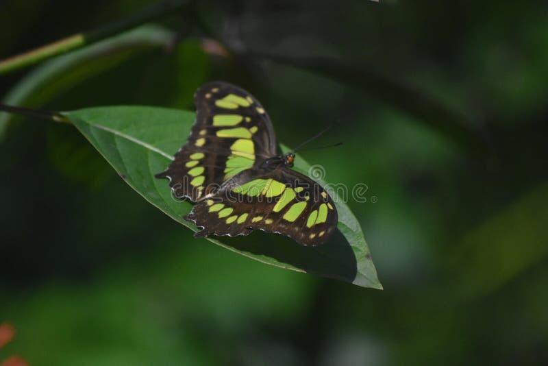 Chiuda sullo sguardo ad una farfalla della malachite con l'ala verde e nera fotografia stock libera da diritti