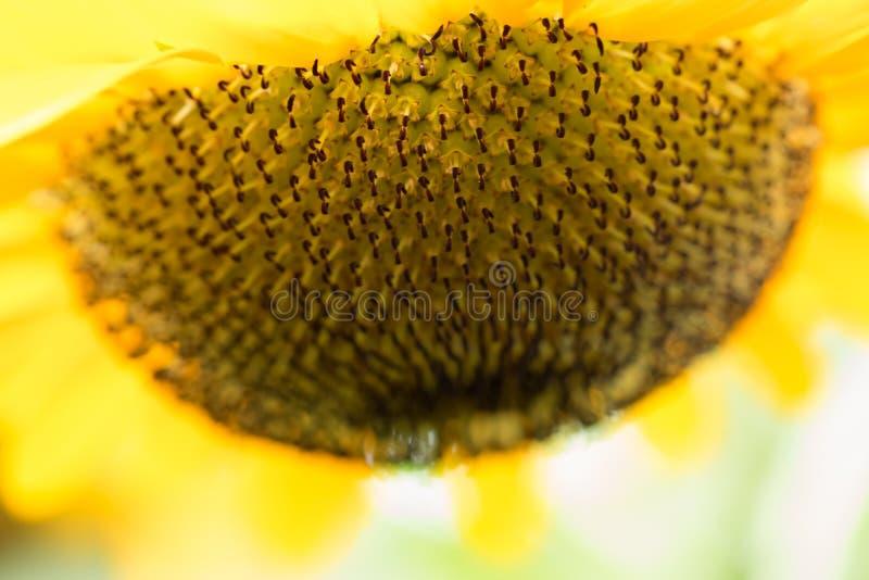 Chiuda sullo sguardo dell'estratto del fiore del sole sottosopra molto bello fotografia stock libera da diritti