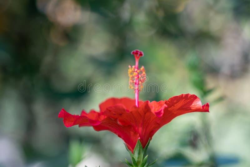 Chiudi fiore rosso di Hibiscus Fiore di Hibiscus rosso focato selettivo nel giardino immagine stock libera da diritti