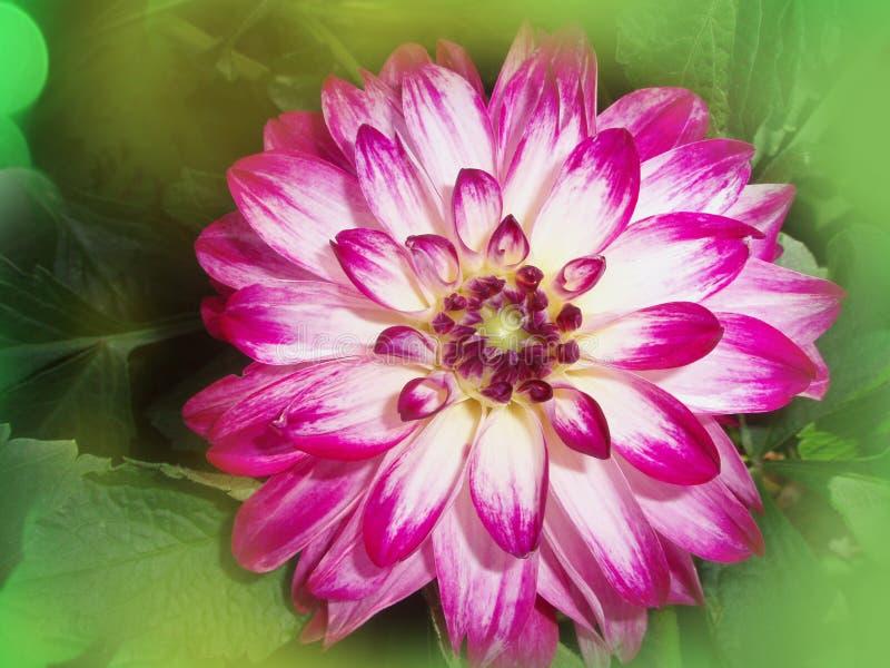 Chiudi fiore viola di Dallia fotografie stock libere da diritti
