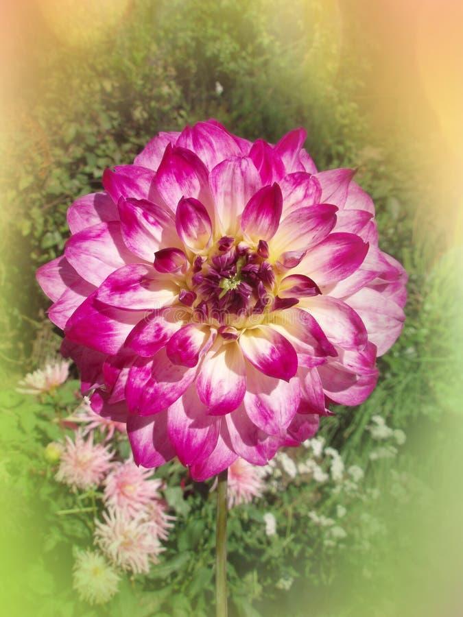 Chiudi fiore viola di Dallia fotografia stock libera da diritti