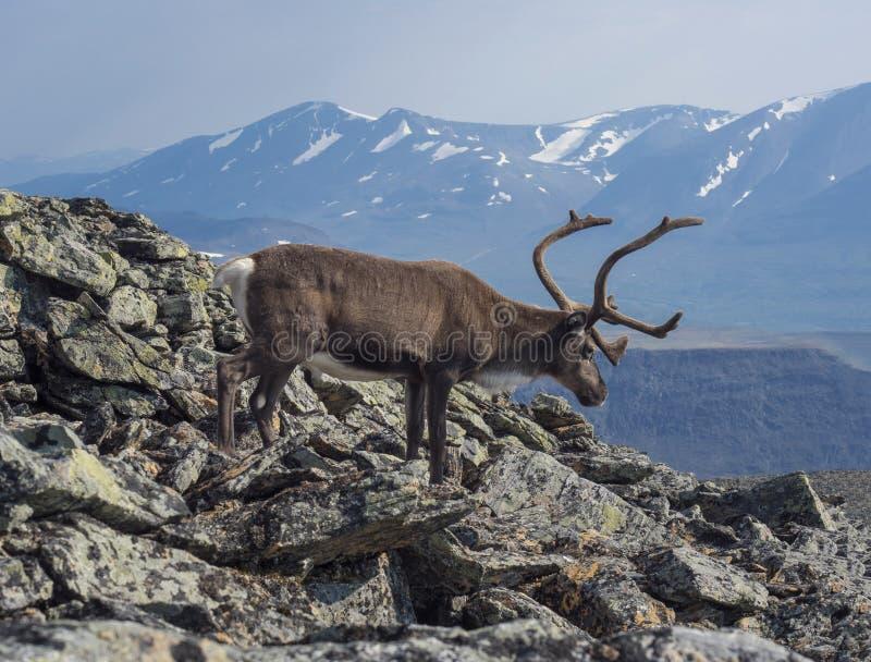 Chiudi la bella vista del profilo maschile delle renne che scende dalla cima della montagna Animale selvatico in ambiente natural immagine stock libera da diritti