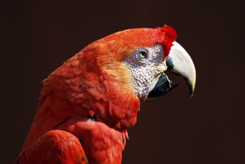 Chiudi Macaw Scarlet immagini stock libere da diritti