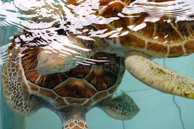 Chiudi Tartarughe marine accoppiate nello stagno fotografia stock