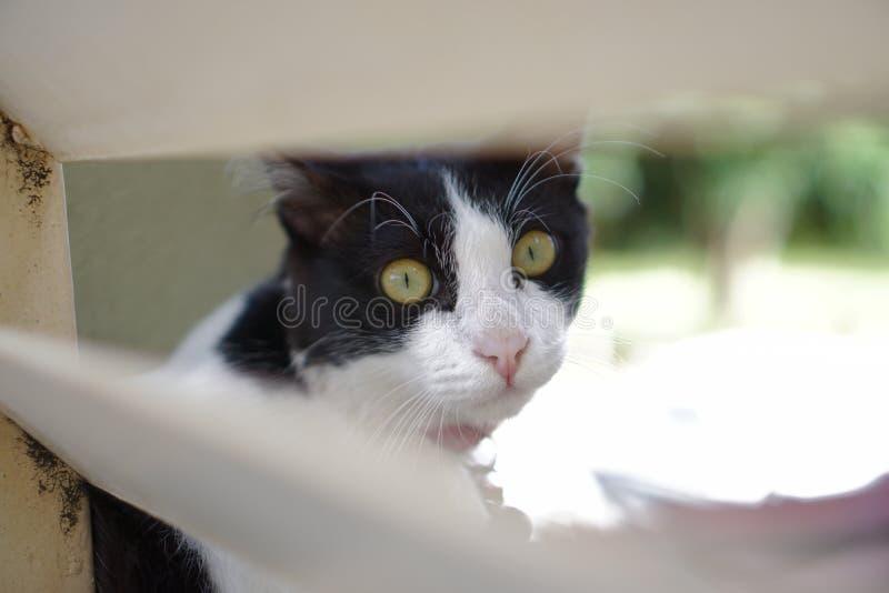 Chiudi Tuxedo Cat fotografie stock libere da diritti
