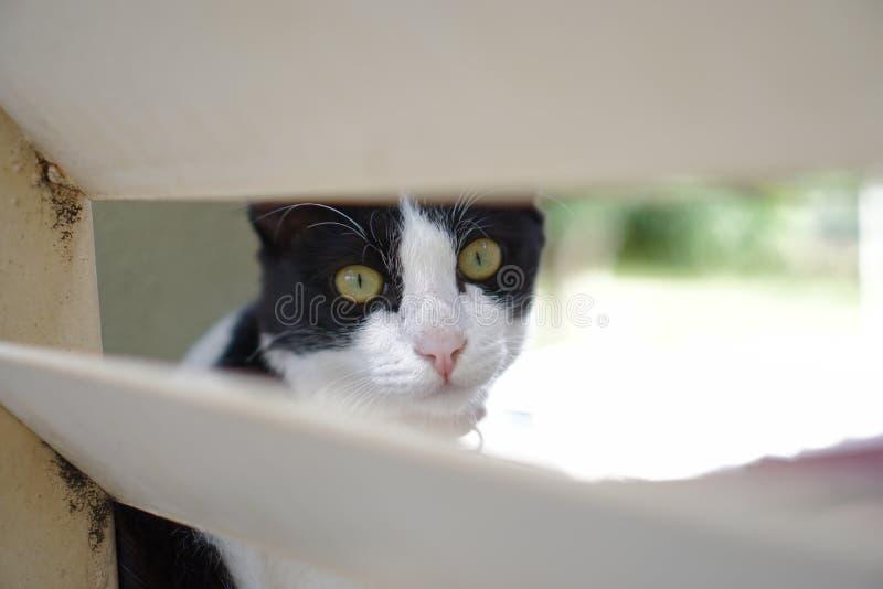 Chiudi vista Tuxedo Cat fotografia stock libera da diritti