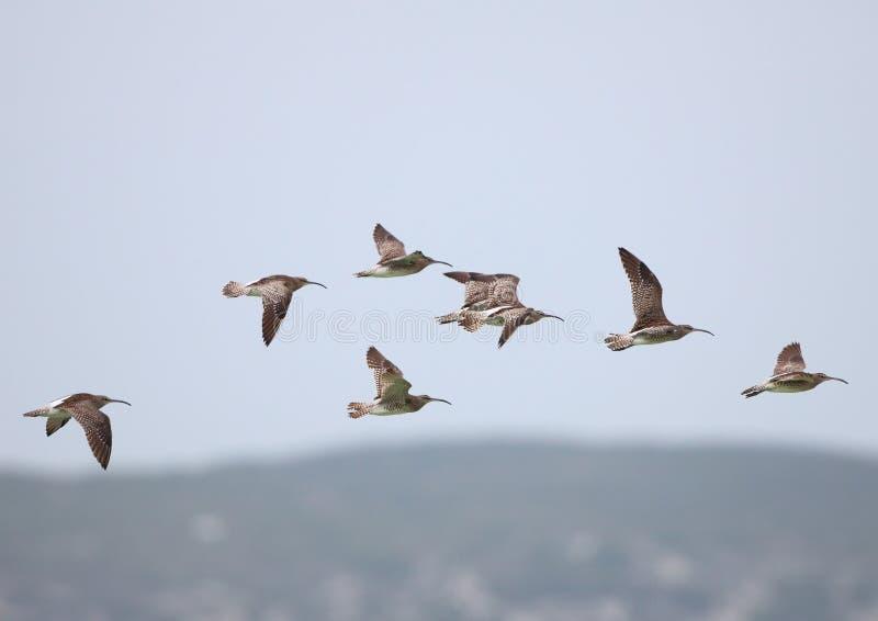 Chiurli piccoli durante il volo fotografie stock libere da diritti