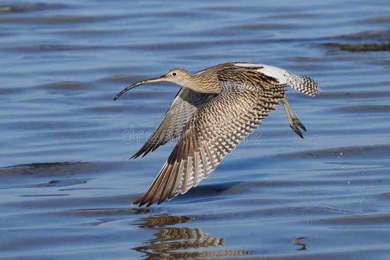 Chiurlo di volo alla spiaggia dello Sharm el-Sheikh del Mar Rosso fotografie stock
