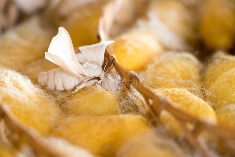 Chiuso su del bozzolo giallo del gruppo del baco da seta e della farfalla ancora cresca nel fondo del nido del tessuto immagine stock libera da diritti