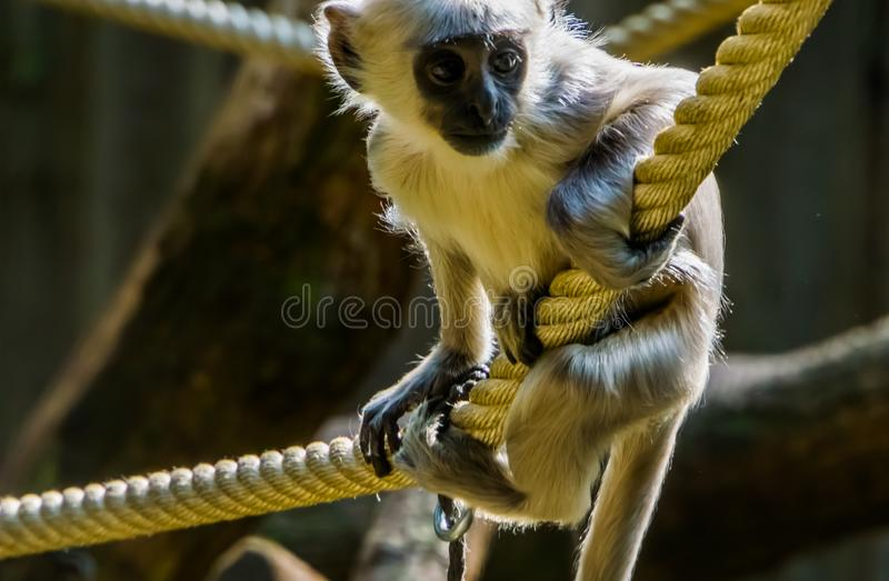 Chiusura cutanea di un neonato di hanuman bengalese, scimmia, specie di primate tropicali provenienti dal Bangladesh fotografia stock libera da diritti