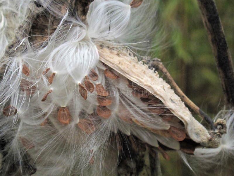 Chiusura dei capsule di seme di alghe da latte allo scoppio fotografia stock