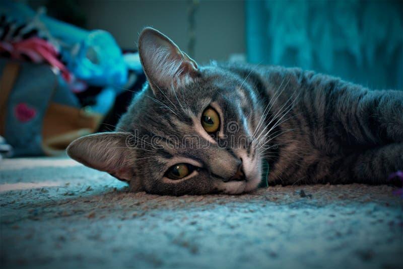 Chiusura del Gatto di Grigio Tabby che giace sulla superficie grigia immagine stock