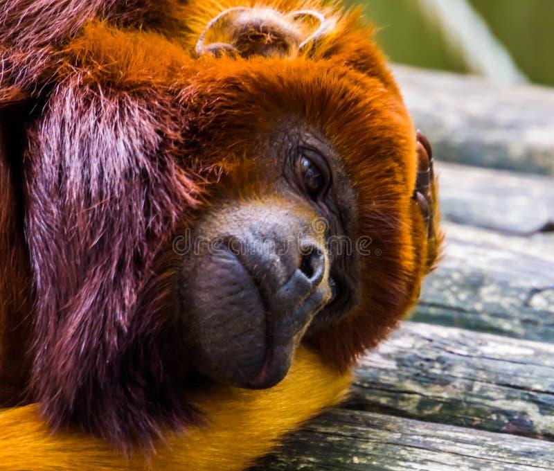 Chiusura della faccia di una scimmia corposa, scimmia rossa esotica, specie di primate tropicali provenienti dall'America del Sud fotografie stock