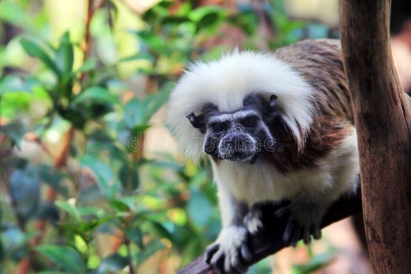 Chiusura della faccia di una scimmia tamarina di cotone fotografie stock