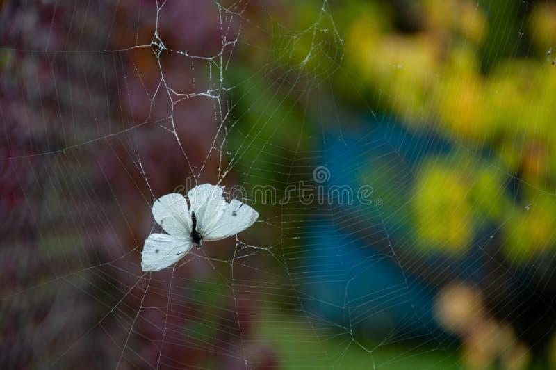 Chiusura delle ali di farfalla bianca nella ragnatela su fondo variopinto di bokeh Concetto di fragilità Bellezza della natura fotografie stock