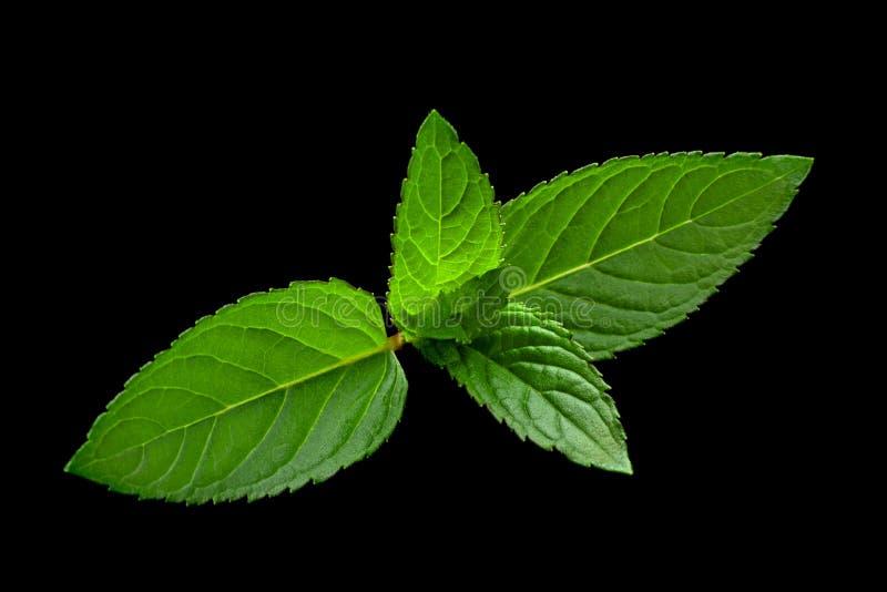 Chiusura delle foglie di menta peperita immagine stock