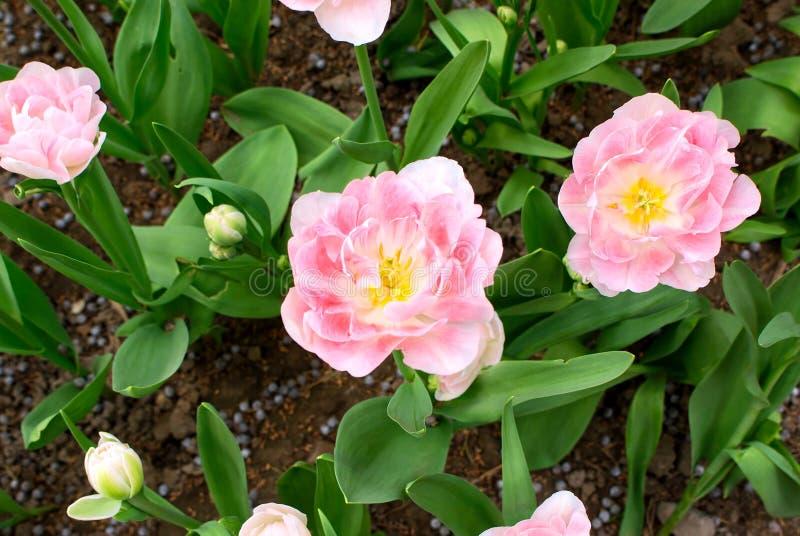 Chiusura Di Delicati Tulipani Bianchi E Rosa Con Centro Giallo Immagine Stock - Immagine di ...