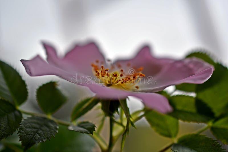 Chiusura Di Fiore Pallido Di Rosa Di Cane fotografia stock