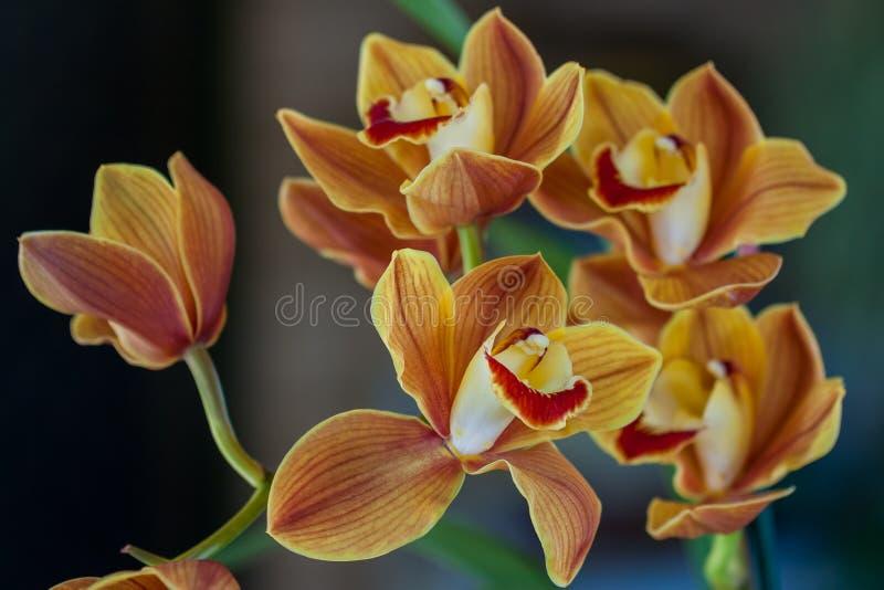 Chiusura di un fiore asiatico arancione di filigrana in adelaide australia fotografia stock libera da diritti
