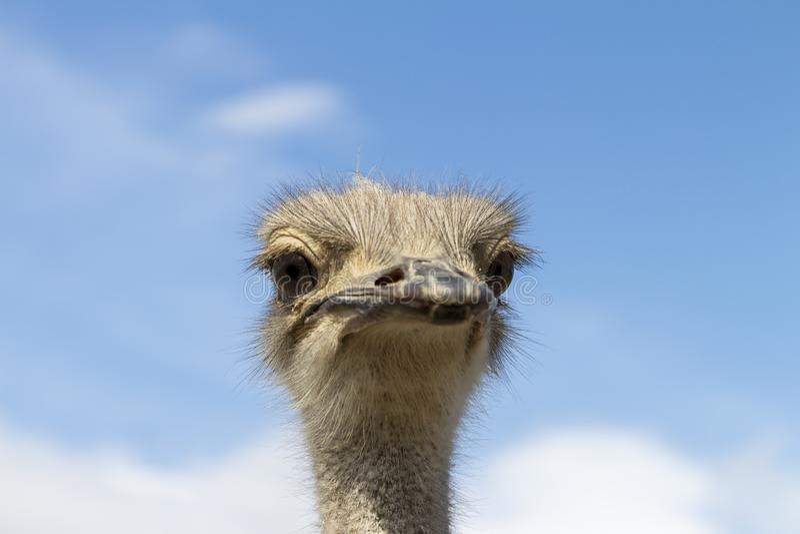 Chiusura di un Ostrich immagine stock