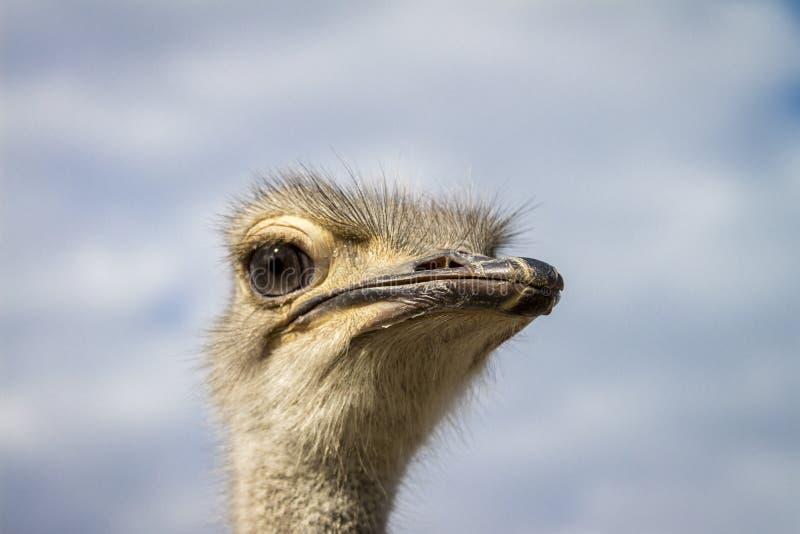 Chiusura di un Ostrich immagine stock libera da diritti