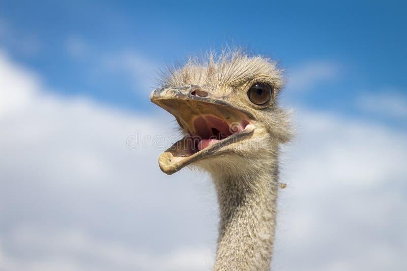 Chiusura di un Ostrich fotografia stock libera da diritti