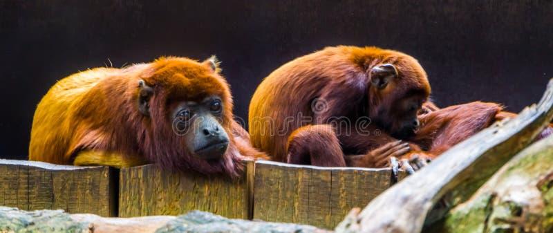 Chiusura di un sito di proprietà familiare in sottofondo, specie di primate tropicali provenienti dall'America del Sud fotografia stock libera da diritti
