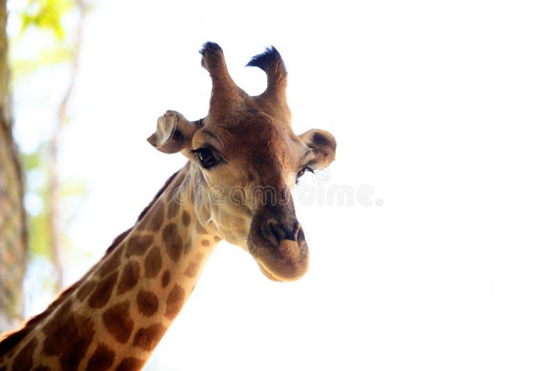 Chiusura di una giraffa immagine stock