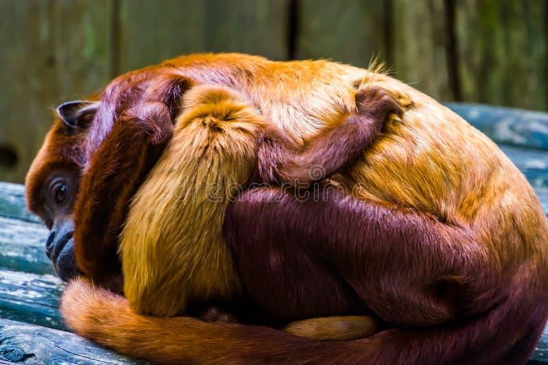 Chiusura di una pianta con la scimmia neonata che abbraccia la madre, specie di primate tropicale dell'America del Sud fotografia stock libera da diritti