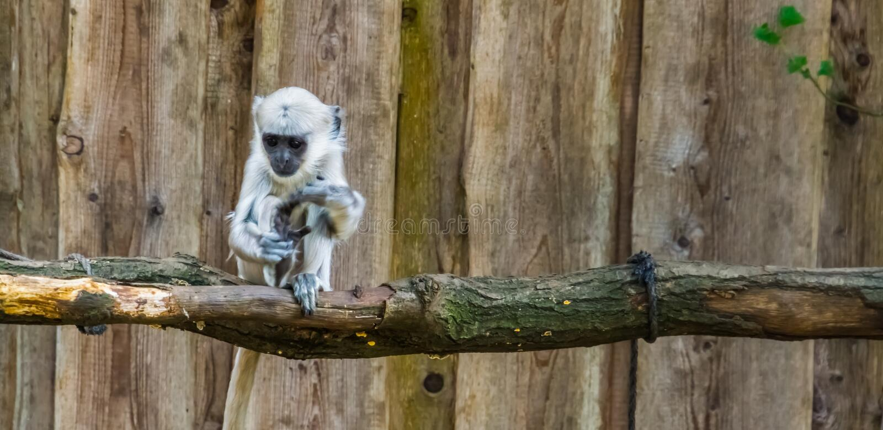 Chiusura di una specie di primate tropicale bengalese di hanuman langur, bangladesh immagini stock libere da diritti
