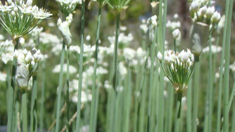 Chive Blooming Flowers. Fresh white and unique colours of the chive plant in bloom stock photography