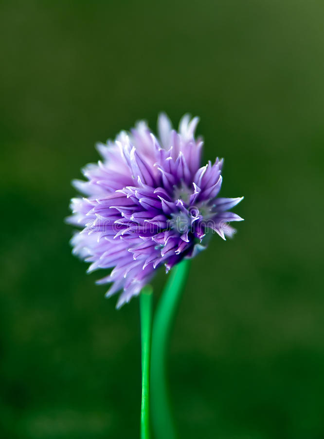 Chive Blossom. Detail of a flowering chive plant royalty free stock photography
