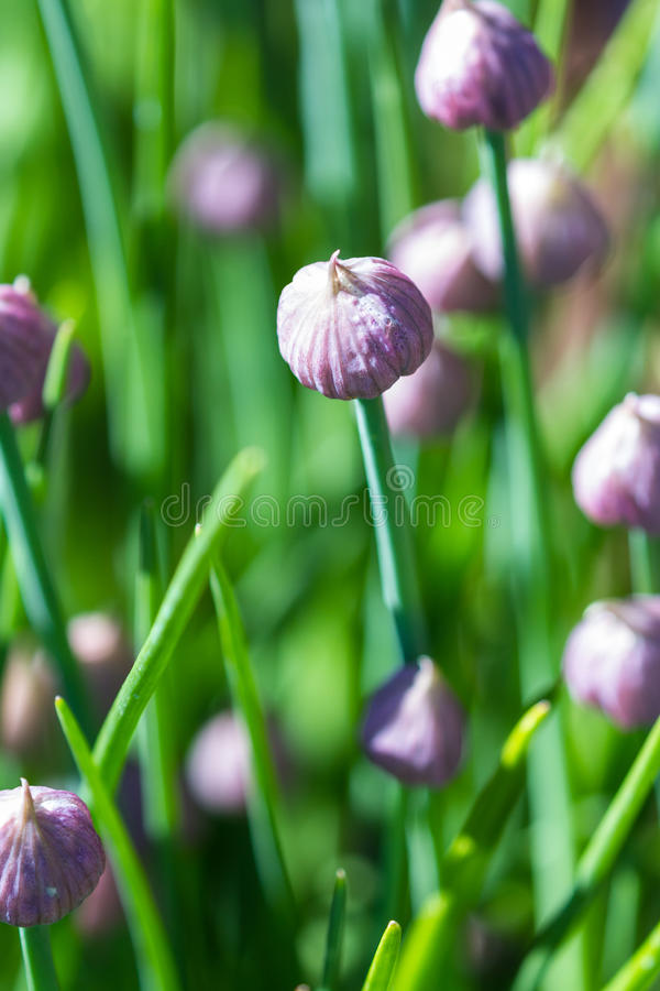 Chive blossoms in the garden. Close up of a set of beautiful chive blossoms in a home garden with spring green stems in the background royalty free stock images