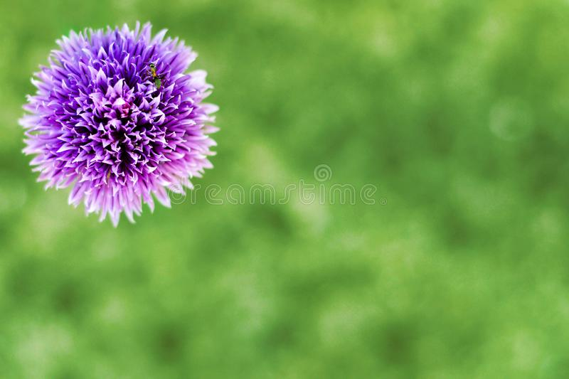 Chive flower on green background with copy space. Top view of chive flower on green background with copy space stock photography