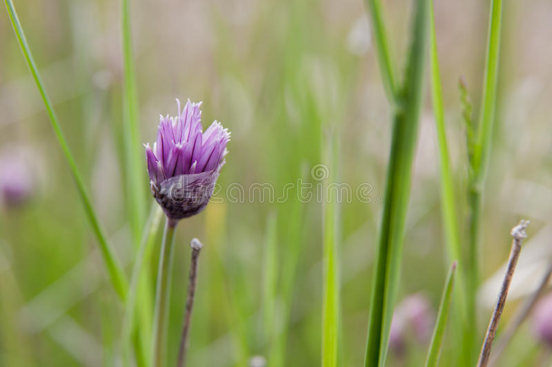 Chive Flower. A purple chive plant flower blooming through delicate paper like wrap against a blurred green background stock photography