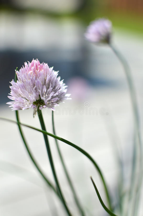 Chive flower. Two chive flowers in a garden in spring stock images