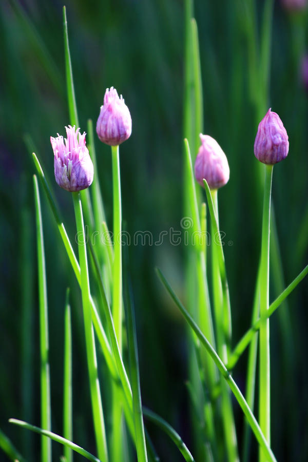Download Chive Flowers stock photo. Image of chives, springtime - 13581010