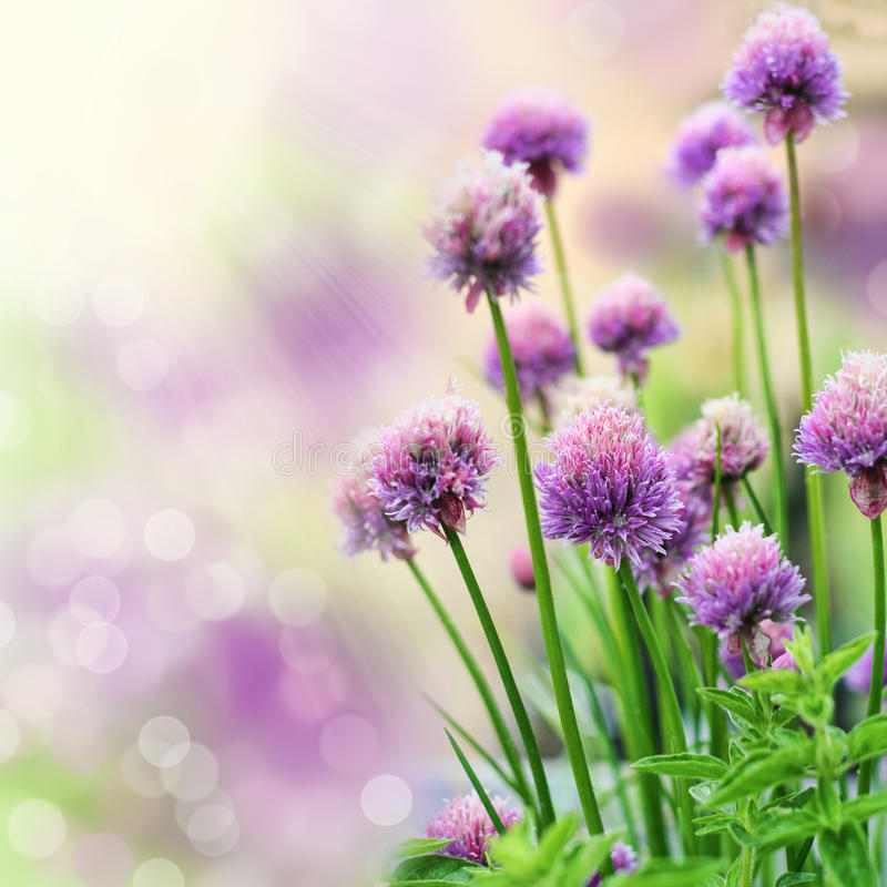 Chive flowers stock image