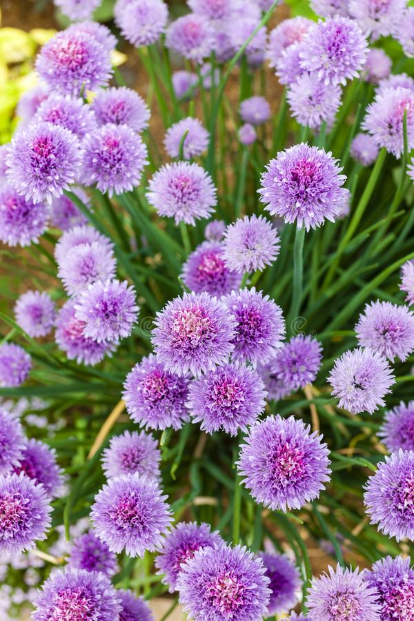 Chive flowers. Outdoors, outside, exteriors, nature, natural, flora, vegetation, plant, allium, schoenoprasum, purple, many, abundance, close, up stock image