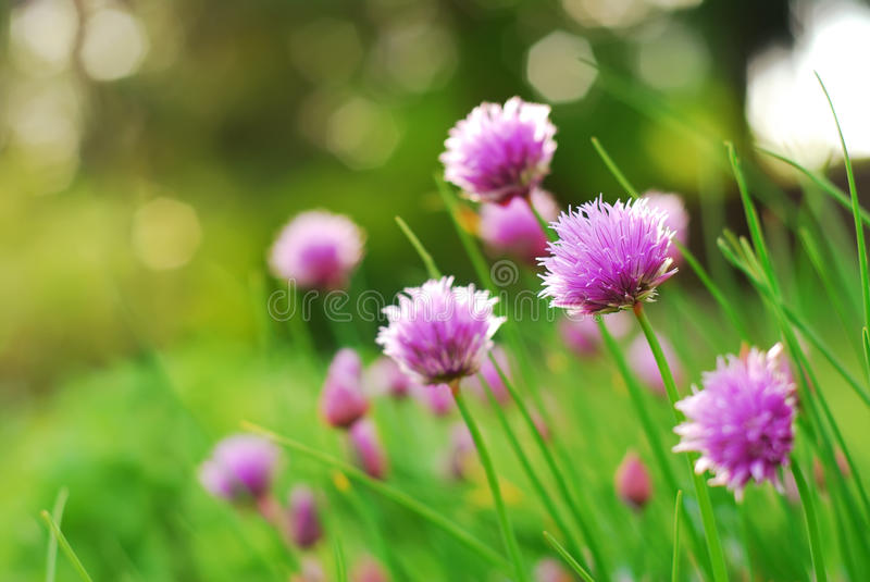 Chive Flowers. Blooming in an herb garden stock photo