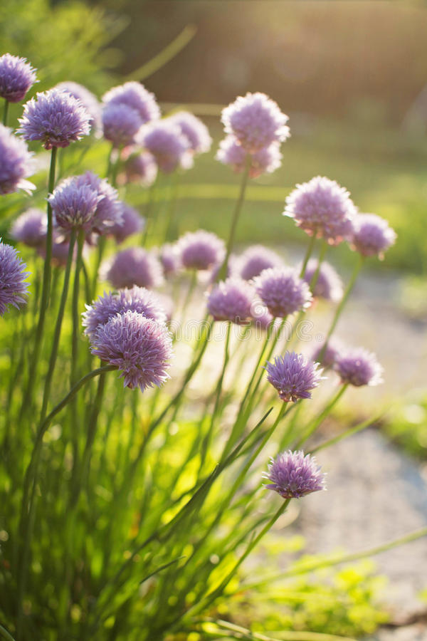 Chive Flowers. Dappled sunlight highlight the purple flowers of the chive plant growing in a garden during the spring stock image