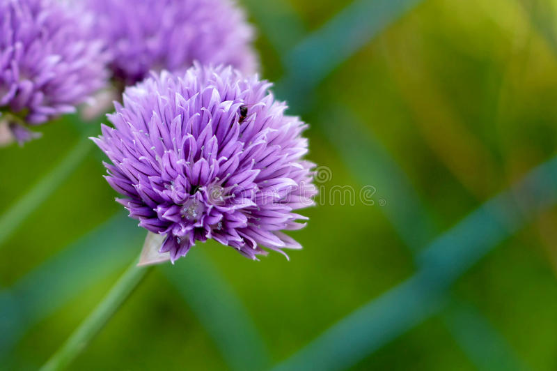 Chive flowers. In the garden stock photography