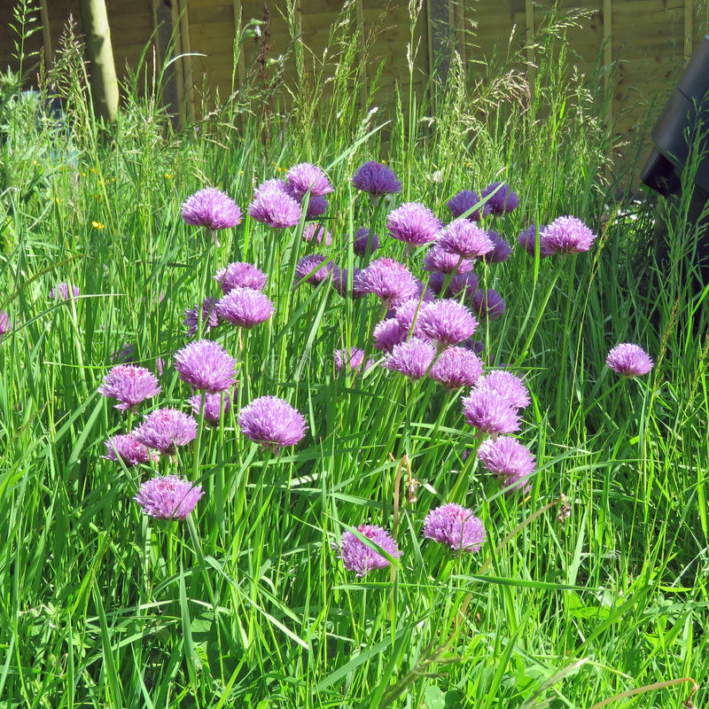 Chive flowers in the garden royalty free stock photos