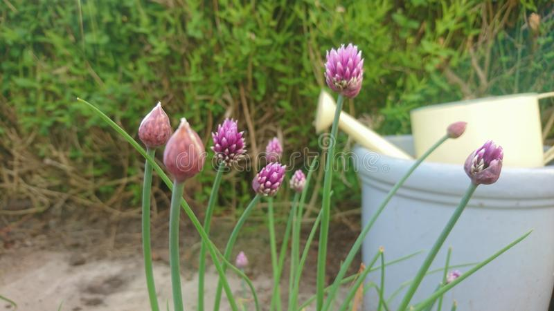 Chive flowers infront of a garden pot and watering can. Plants flowers herbs blue purple pink plant buds growing pot purple chive green growing out of the patio stock photos
