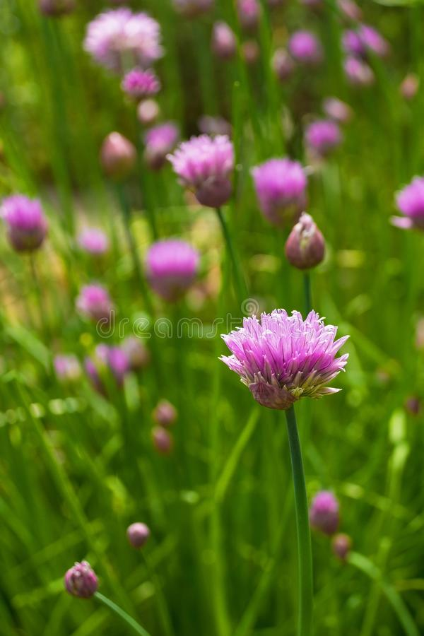 Chive Flowers. The lilac flowers of a blossoming perennial chive plant, Allium Schoenoprasum stock photos