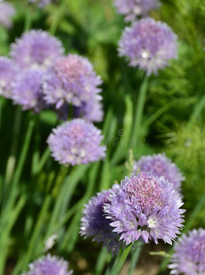 Chive Flowers. The lilac flowers of a blossoming chive plant royalty free stock images