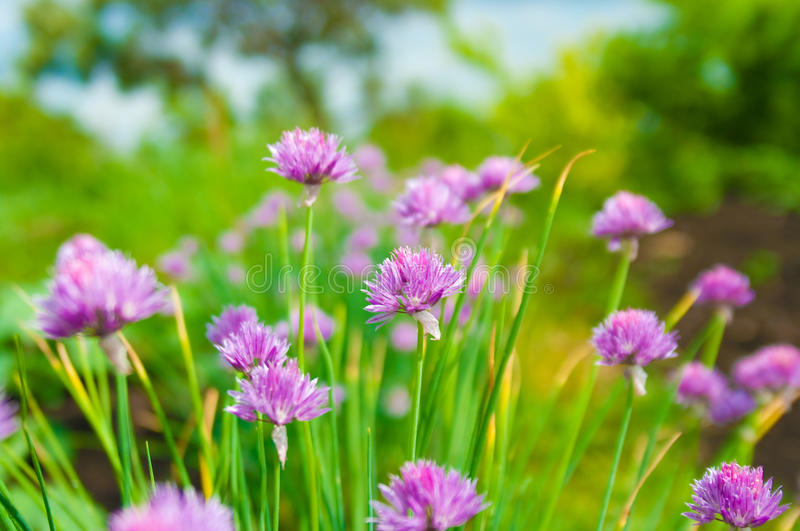 Chive flowers. Flowers from the chive plant in bloom royalty free stock images
