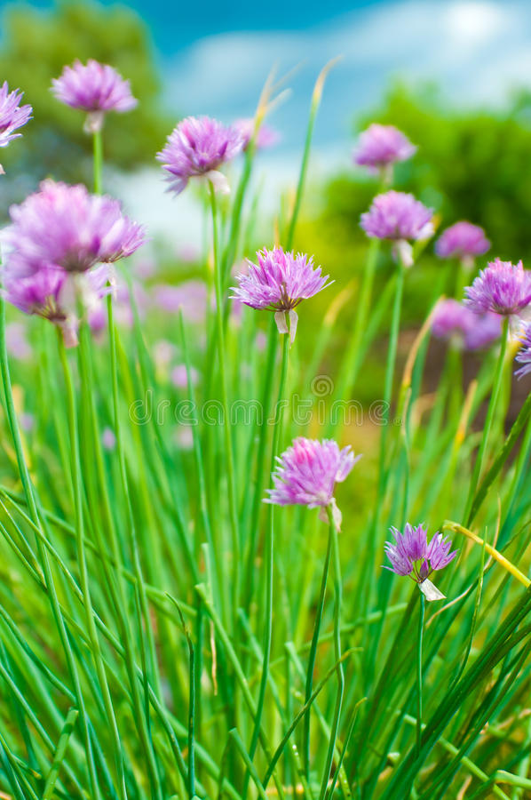 Chive flowers. Flowers from the chive plant in bloom stock photos